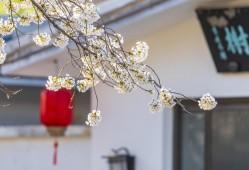 樱花和樱桃是什么关系?神奇的知识又增加了!
